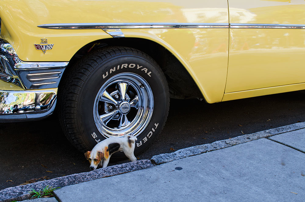 A small dog peeing on a car during a car show in Wilmington North Carolina