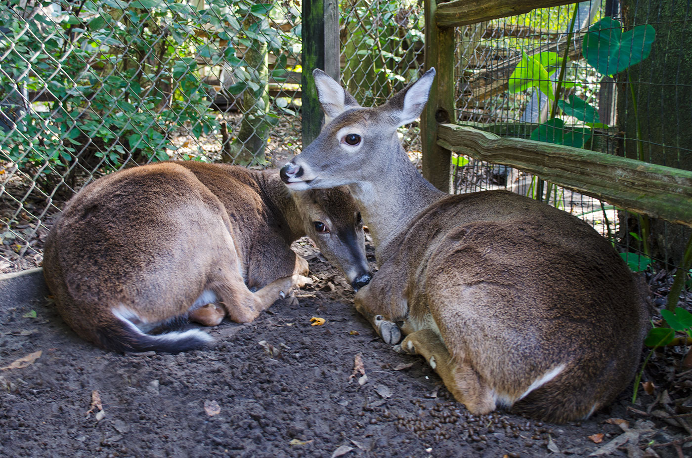 Two White-Tailed Deer at the Magnolia Plantation petting zoo near Charleston, South Carolina