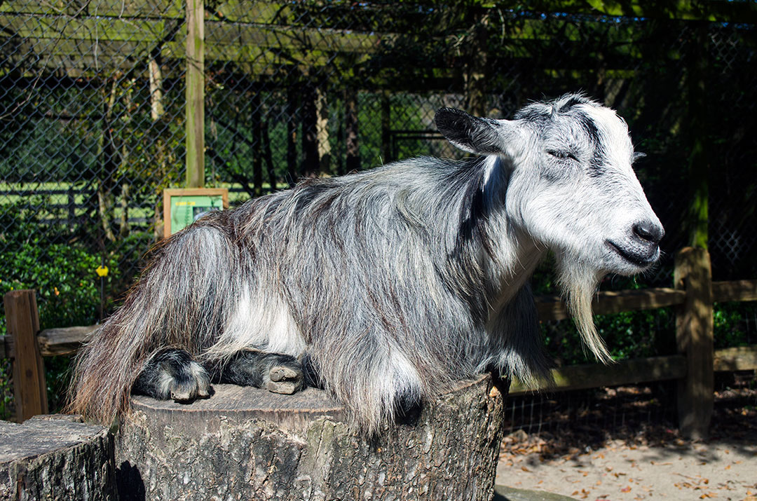 A goat relaxing on a log at Magnolia Plantation petting zoo near Charleston, South Carolina