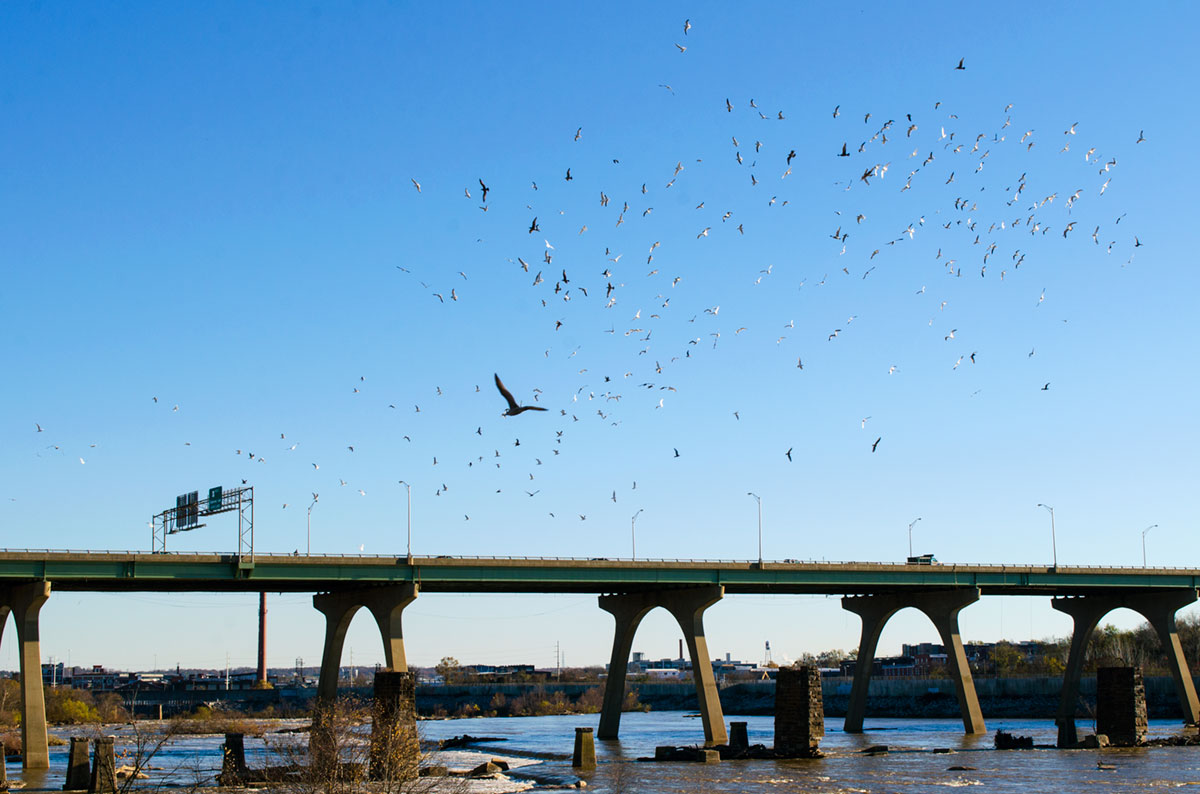 Hundreds of seagulls flying above the James River in Richmond Virginia