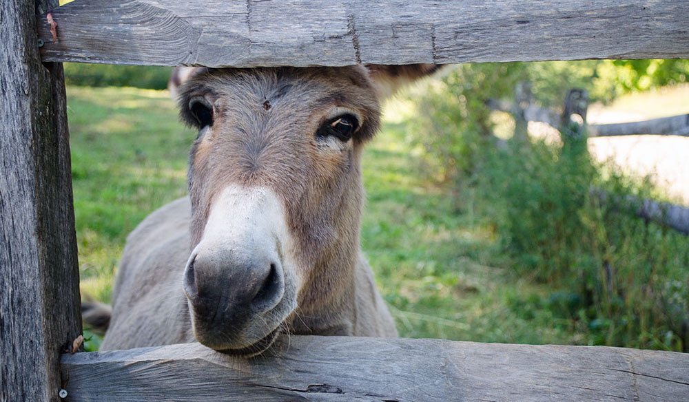A donkey peeks through a fence at Shelburne Farms in Vermont