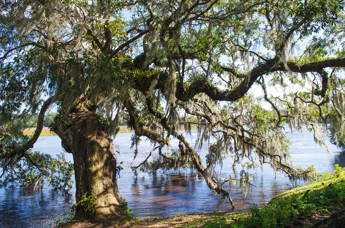 Spanish moss hanging from a tree at Magnolia Plantation in Charleston South Carolina