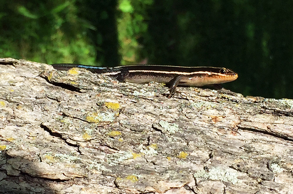 an American Five-Lined Skink at Whipple Dam State Park near State College Pennsylvania