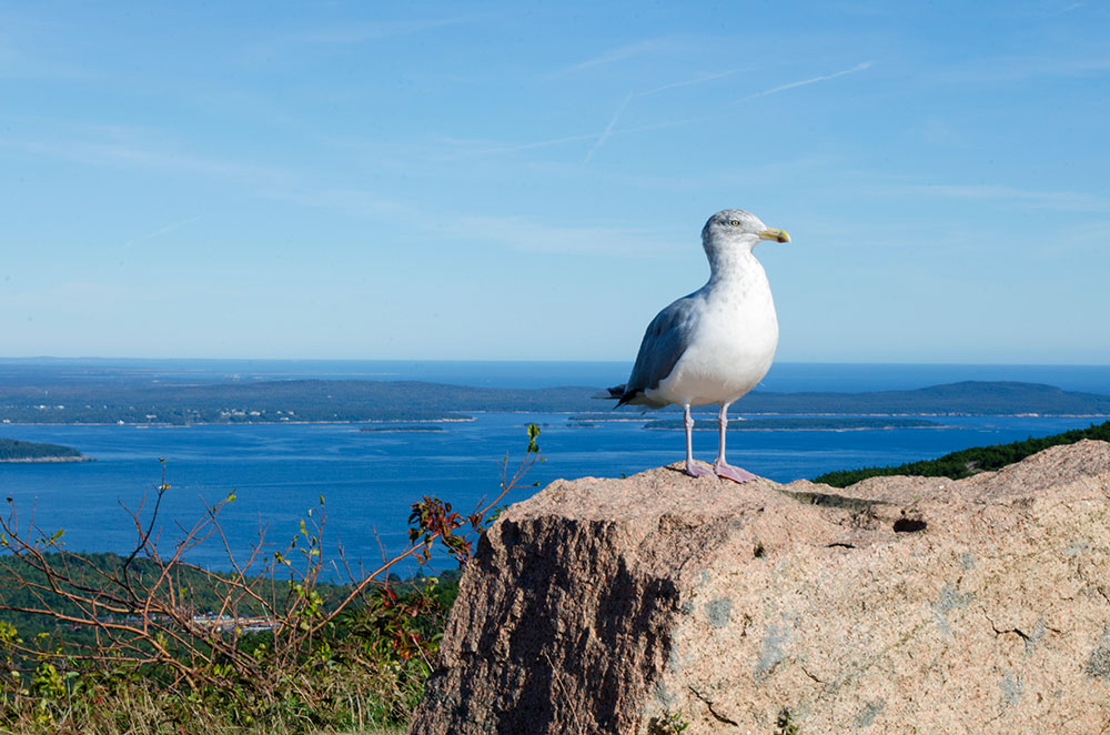 A seagull perched on a rock along the side of Park Loop road on Cadillac Mountain