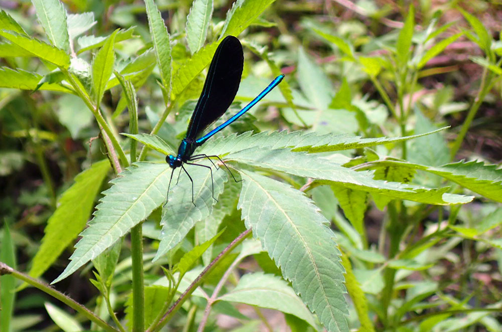 a ebony jewelwing in Valley Forge National Historical Park