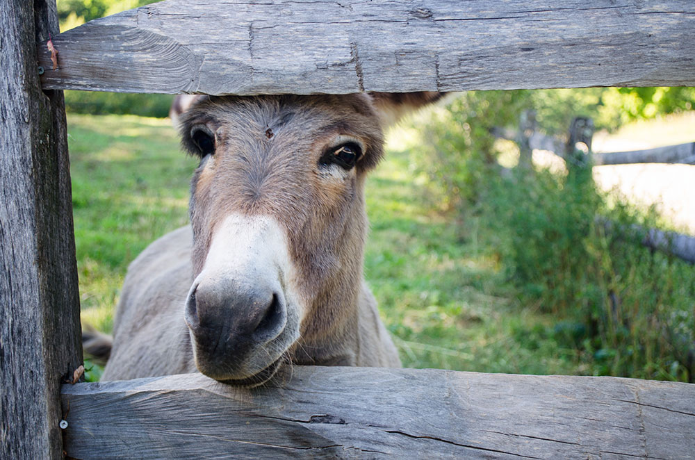 A miniature donkey we saw peeking through a wooden fence during our gap year at Shelburne Farms near Burlington Vermont