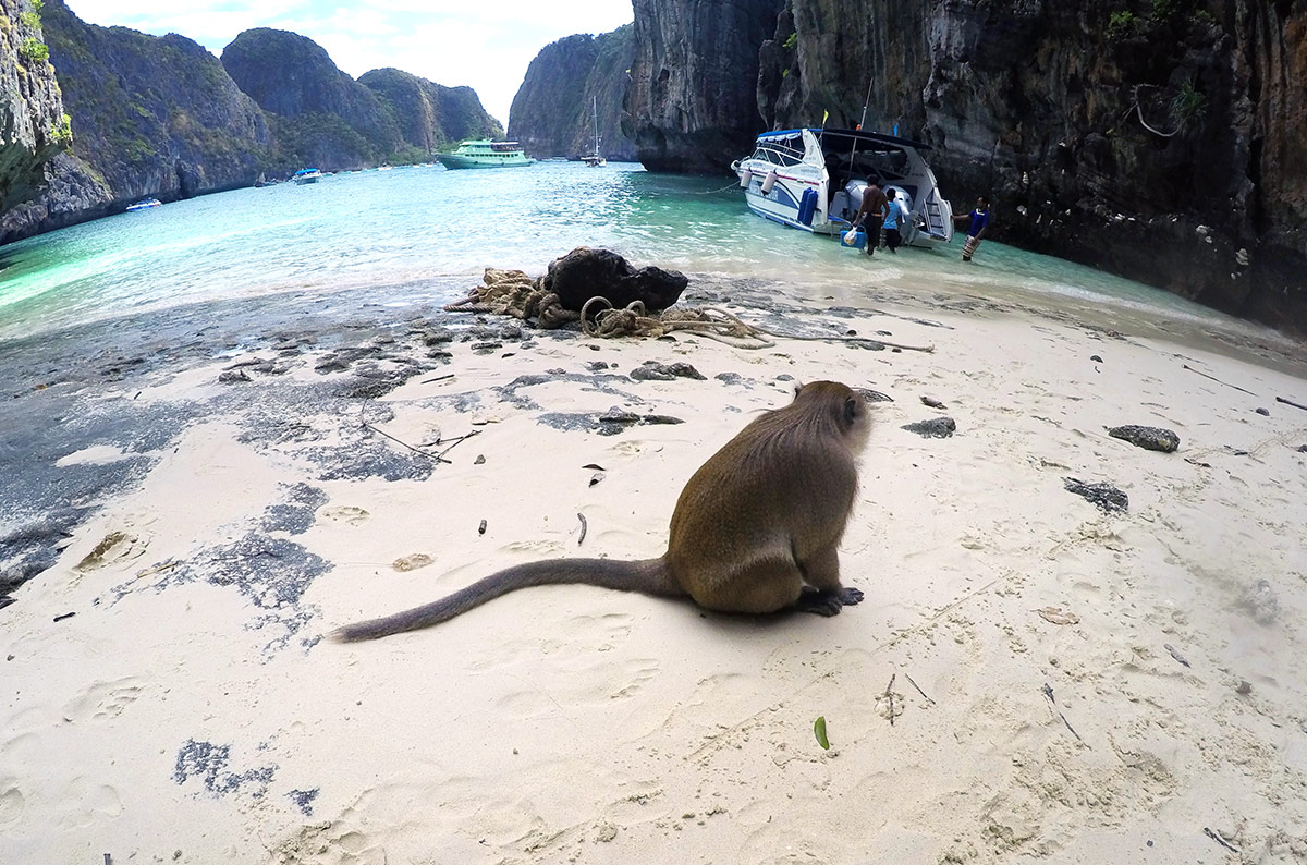 A monkey sitting down on a beach in Maya Bay Thailand