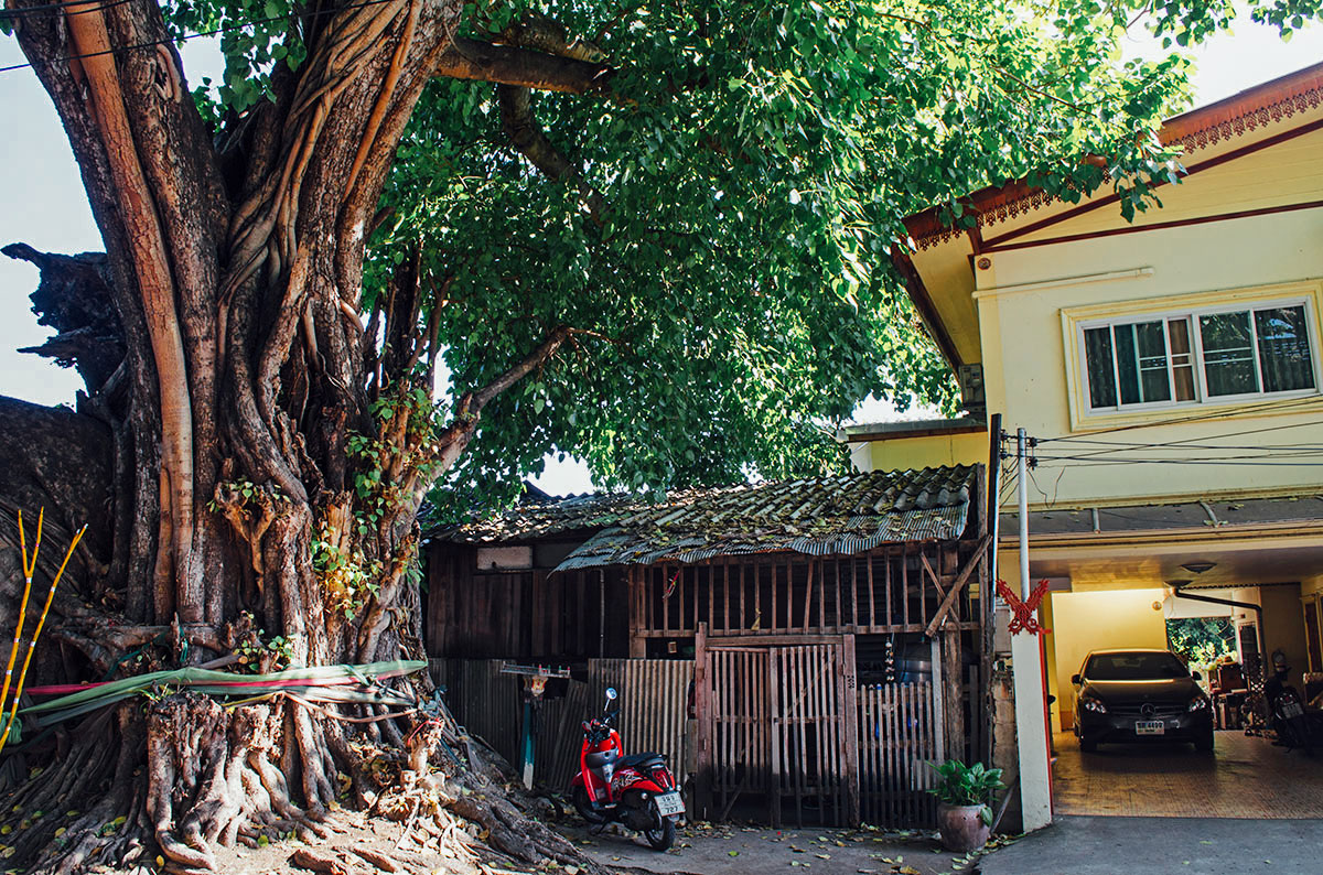 A large tree on a street in Chiang Mai Thailand