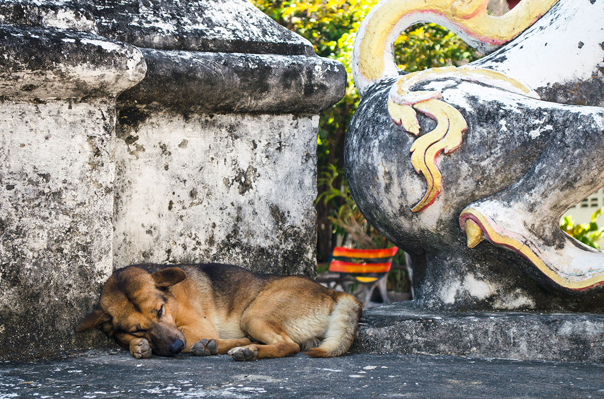 A stray dog sleeping at a temple in Chiang Mai Thailand