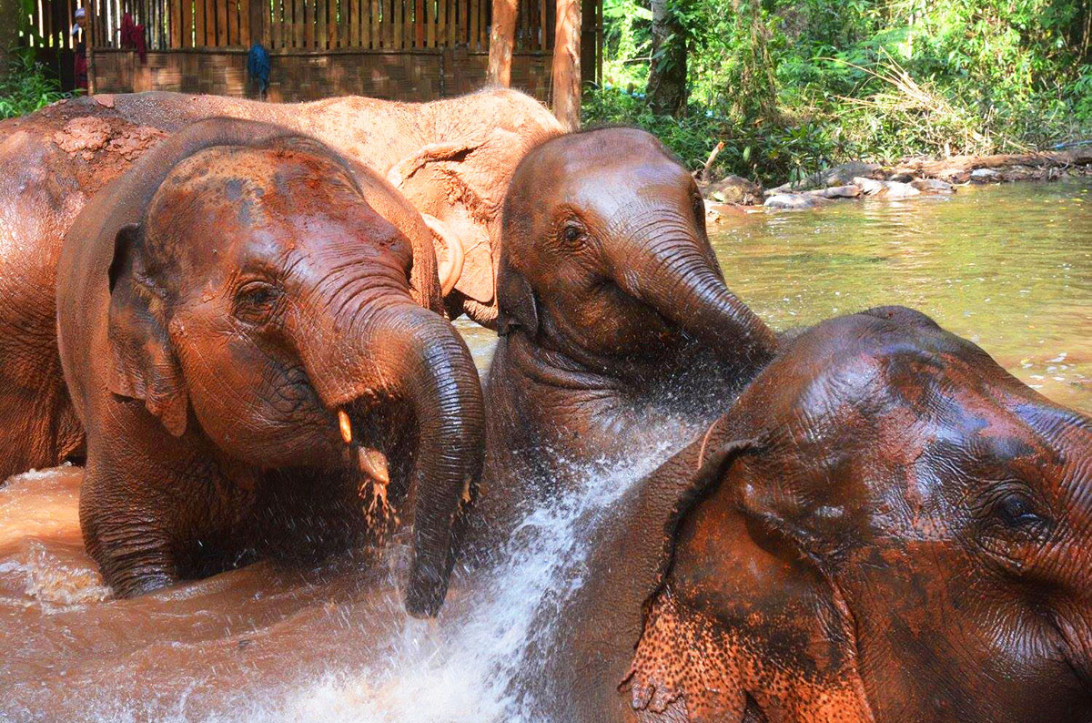 Elephants playing in a river near Chiang Mai Thailand