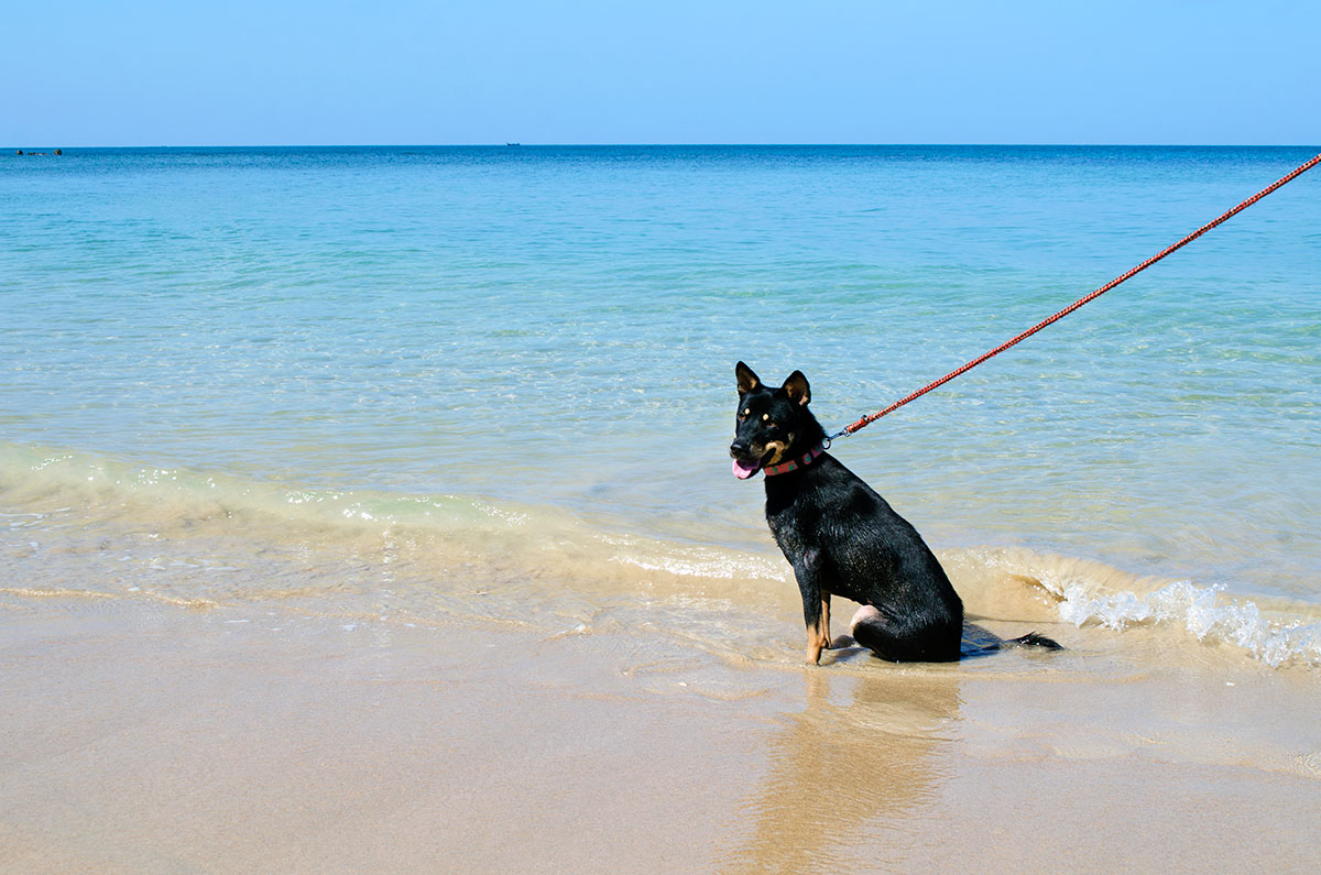 A dog from Lanta Animal Welfare siting in the water at the beach in Koh Lanta