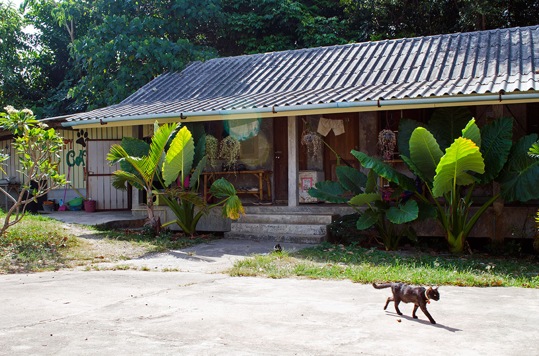 A cat walking across the grounds of Lanta Animal Welfare in Koh Lanta