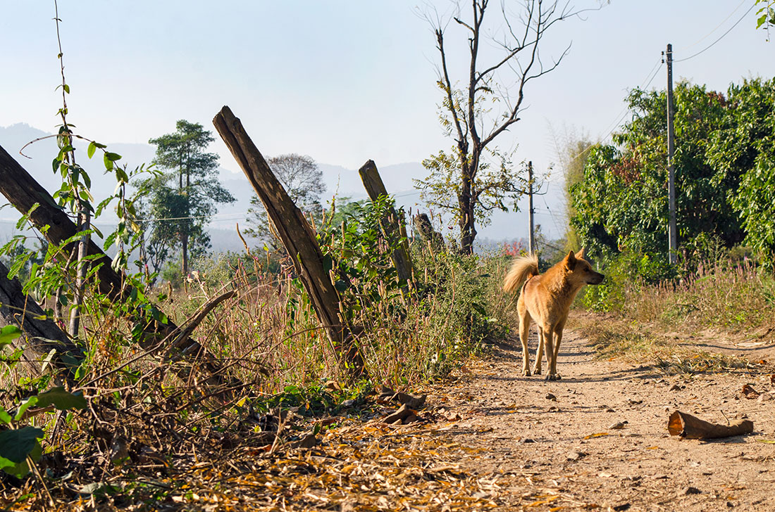 A stray dog wandering the countryside of Pai