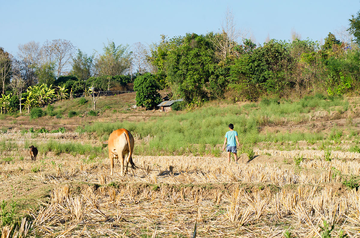 A young boy walking a cow through a field in Pai