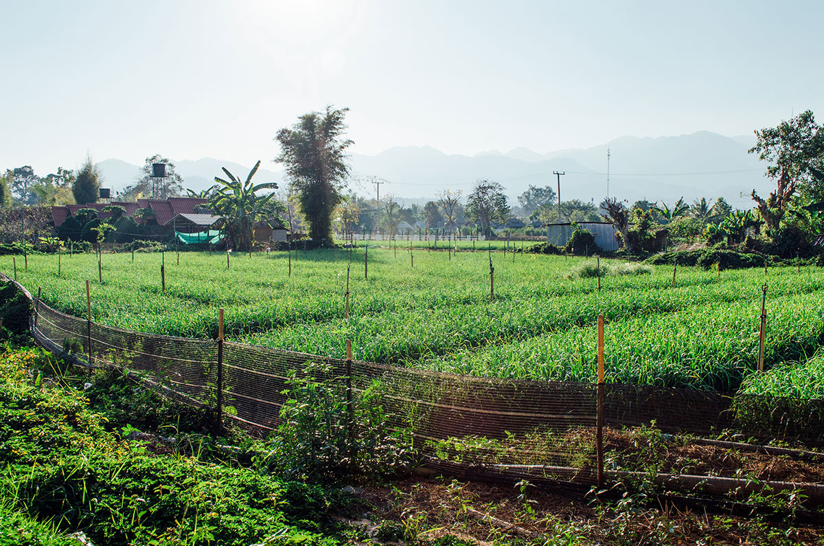 A field of crops in Pai Thailand