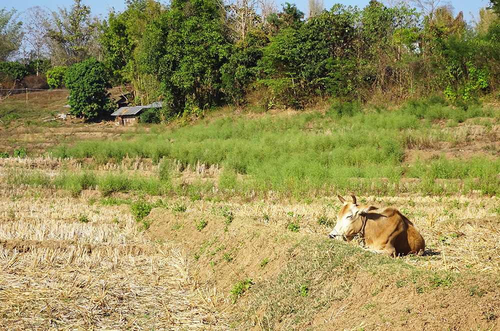 A cow laying down in the countryside of Pai Thailand